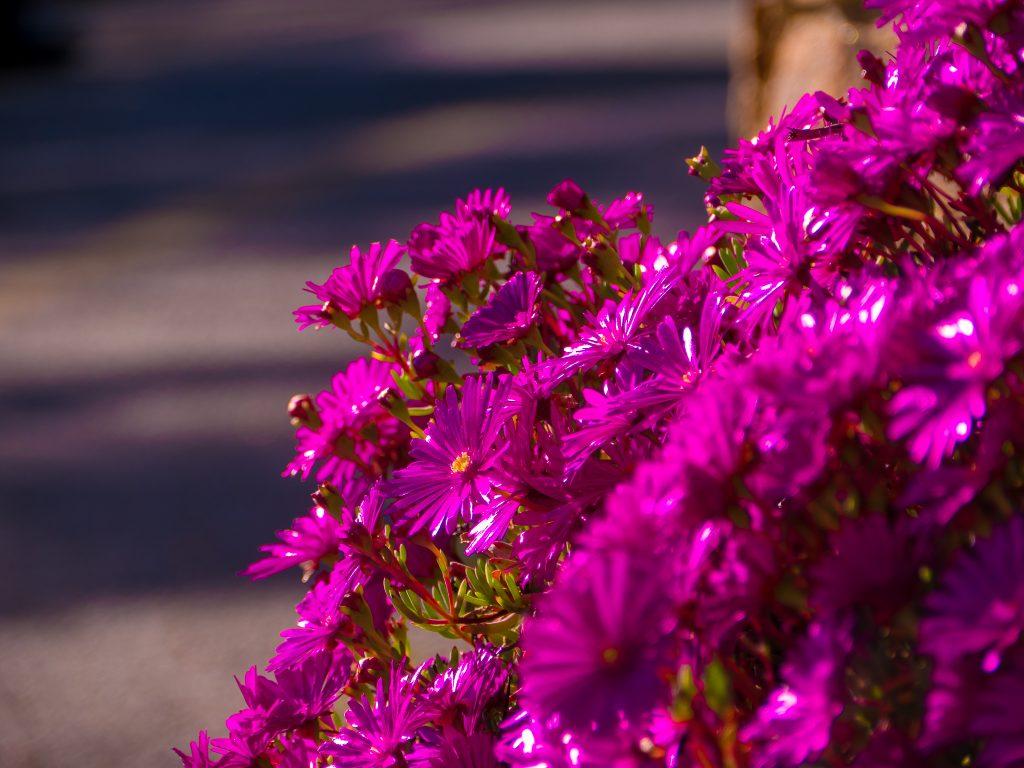 Corso fleuri de Bormes les mimosas